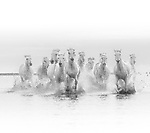 Horse herd running through shallow waters, Camargue, France