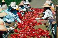Farm workers sorting red peppers at Irvine Ranch, California