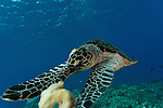 Hawksbill turtle (Eretmochelys imbricata) feeds on sponge