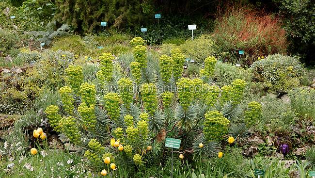 Over 2,000 species of mountain plants thrive in the Jardin Alpin (Alpine Garden) located in the Jardin des Plantes, Paris, 5th arrondissement, France. Founded in 1626 by Guy de La Brosse, Louis XIII's physician, the Jardin des Plantes, originally known as the Jardin du Roi, opened to the public in 1640. It became the Museum National d'Histoire Naturelle in 1793 during the French Revolution. Picture by Manuel Cohen