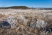 Frosty sagebrush in Yellowstone National Park