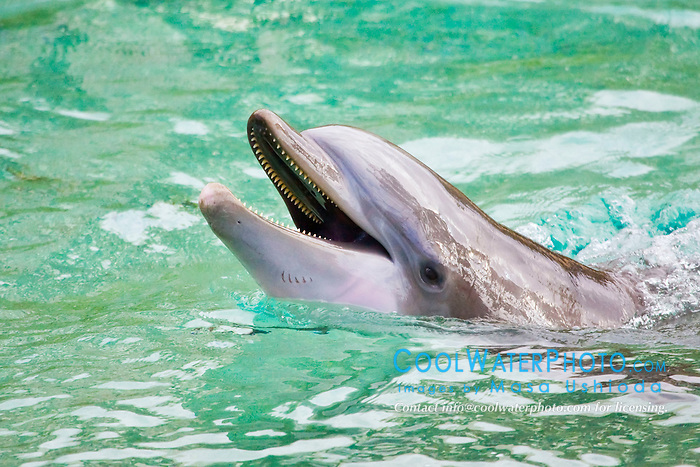 Atlantic bottlenose dolphin, Tursiops truncatus, showing teeth, Dolphin Quest, Hilton Waikoloa Village, Big Island, Hawaii, USA (c)