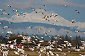 WA08113-00...WASHINGTON - Large flock of snow geese landing in a farm field on the Fir Island section of the Skagit Wildlife Area with Mount Baker in the distance.