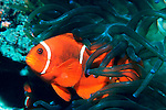 A Maroon Clownfish (Pomacentridae: Premnas biaculeatus) shelters in the tentacles of its host anemone, often a Bubble-tip Anemone as shown, or  a Sebae Anemone   //   Tomato Clownfish (Pomicentridae: Premnas aculeatus), Length to 17cm. The single member of the Sabre-cheeked Clownfish family, Maroon Clownfish are easily identified by the smaller lower spine and the larger spine below the eye that extends well across the cheek.   Found on tropical coral reefs of the Indian and Pacific Oceans, from Taiwan south to Malaysia and eastwards through Indonesia to New Guinea and the Great Barrier Reef. Also known as the Maroon Anemonefish, Spine-cheeked Clownfish. Do not confuse with the Tomato Clownfish which has no cheek-spines and only one white stripe .  Common.   //   Bubble-tip anemones - Actinidae: Entacmaea spp) Diameter to 30cm, often solitary in deeper waters, clusters in shallower waters.   //