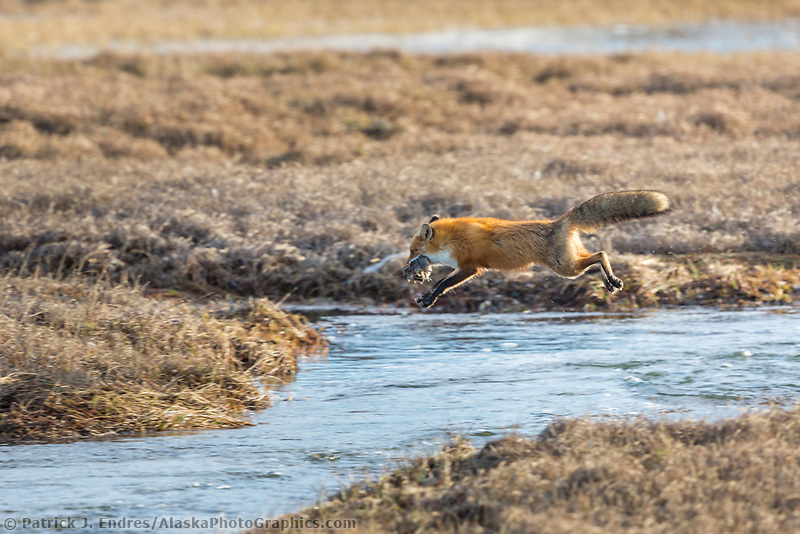 Red fox jumps across stream on the tundra of the Arctic North Slope, Alaska.