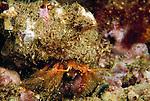 Santa Cruz Island, Channel Islands National Park & National Marine Sanctuary, Channel Islands, California; a Hermit Crab (Paguristes ulreyi) moves across the rocky reef , Copyright © Matthew Meier, matthewmeierphoto.com All Rights Reserved