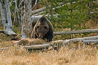 Wild GRAY WOLVES (Canis lupus) and GRIZZLY BEAR at wolf kill.  Grizzly bears frequently steal wolf kills.  Greater Yellowstone Ecological Area.  Fall.