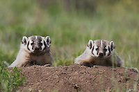 American Badger (Taxidea taxus), young at den, Rocky Mountain National Park, Colorado, USA