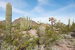 Organ Pipe Cactus National Monument, Arizona; Organ Pipe Cactus (Stenocereus thurberi) growing alongside Saguaro Cactus in the Sonoran Desert