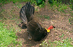 Australian Brush-turkey dust-bathing, Brisbane Australia.   //   Australian Brush-turkey - Megapodiidae: Alectura lathami. Also Bush Turkey, Scrub Turkey, Wild Turkey. Length to 70cm, wingspan to 85cm, weight to 2.25kg.  Males have bright red skin on the head and a yellow wattle (lilac or orange on Cape York) that expands when sexually excited and displaying.  Found in eastern Australian forests from Cape York to Gosford in central New South Wales. A ground-dwelling species which is reluctant to fly, but is  a strong flier once airborne. Sleeps about 10m above ground in canopy of a tree. Omnivorous -  feeds on insects, worms, various invertebrates, seeds, fruit; becomes tame close to humans and is common in parks and gardens of many cities and towns. Megapodes have strong legs and feet and build a mound from litter that they scratch into place, often from considerable distance; the mound may be 4m in diameter and 1.5m high. As the vegetation decomposes it gives off heat and this incubates the eggs. The male attracts females to the mound and they lay their eggs in a hole that he has prepared, usually reaching the decomposed layer, and at about 34 degrees Centigrade - special sensors in the beak measure the temperature and the male removes or adds cover to maintain a constant temperature.  Chicks burrow out to the surface and are precocious, quail-like but downy, and able to look after themselves as soon as they dry. Dust-bathing sites (wallows) in sandy soil are about 50cm diameter and 10cm deep.     IUCN Status: Least Concern   //