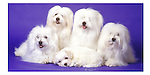 Coton DeTulear family in the studio This design is offered on gift merchandise ONLY.<br />