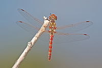 362800014 a wild male variegated meadowhawk sympetrum corruptum perches on a dead stick along the colorado river in lake havasu national wildlife refuge arizona united states