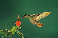 Buff-bellied Hummingbird, Amazilia yucatanenensis,adult feeding from Turk's Cap (Malvaviscus drummondii) , The Inn at Chachalaca Bend, Cameron County, Rio Grande Valley, Texas, USA
