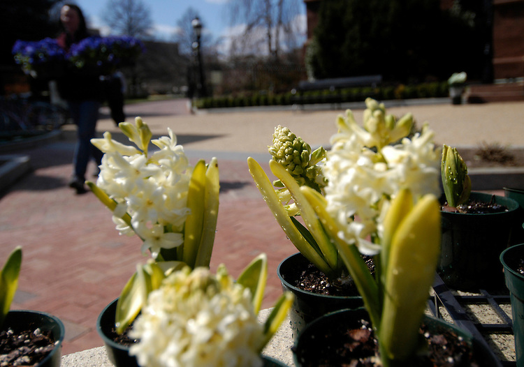 Smithsonian Horticulture Services Division employee Shelly Gaskin carries Pansies, past some freshly watered hycanith bulbs, to be planted on a fountain at the Katherine Dulin Folger Rose garden next to the Smithsonian Castle.