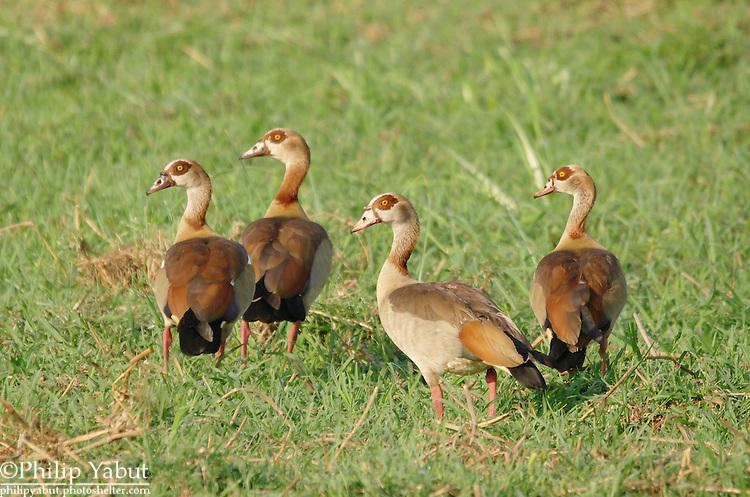 Egyptian goose (Alopochen aegypticus), Zambezi National Park, Zimbabwe