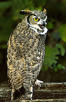 564050010 a captive wildlife rescue great horned owl bubo virginianus perches on a wood fence rail with leaves in fall color in central colorado united states