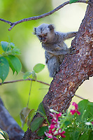 Common Marmoset (Callithrix jacchus), Piaui, Brazil