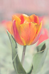 An orange, yellow and pink tulip brightens up the day.