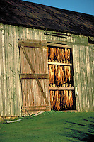 In an Amish farm drying shed tobacco leaves hang to dry. Lancaster Pennsylvania United States farm.