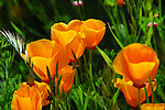 Blooming CA poppies at Butano SP