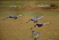 512666383 three wild sandhill cranes grus canadensis fly over a field in bosque del apache national wildlife refuge in new mexico