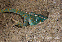 CH48-518z  Veiled Chameleon female digging in sand to lay eggs, Chamaeleo calyptratus