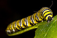 Monarch Butterfly caterpillar (Danaus plexippus), North Carolina, USA