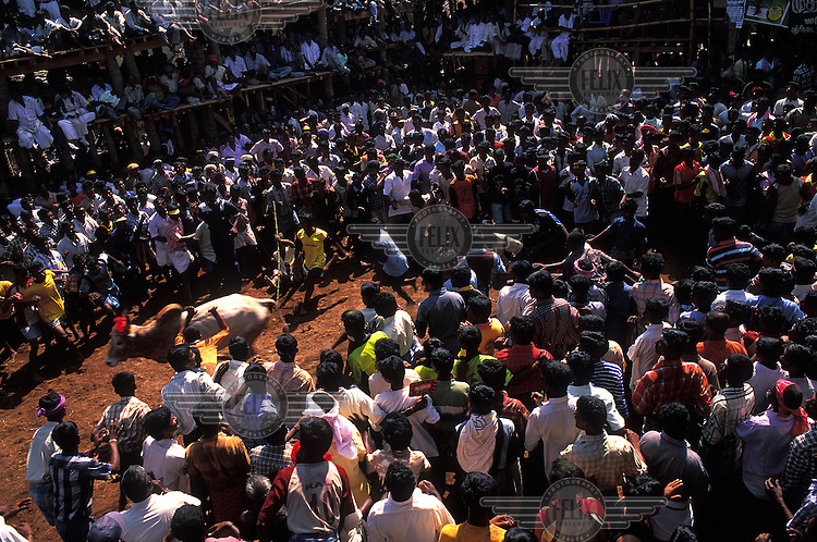 Watched by a huge crowd of spectators, men at the annual Jallikattu bull run, attempt to mount and 'tame' an enraged bull in order to grab a decoration from its specially sharpened horns. Anyone who succeeds in doing so can win one of a range of prizes, including the top prize of a bicycle. Each year the bull run results in many injuries and even deaths. The event is an integral part of Pongal, the Tamil New Year/Harvest Festival.