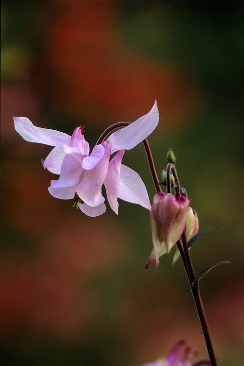 Pink nodding flower and bud of Aquilegia 'Music' in Spring, Stanley Park, Vancouver, BC