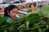 Workers sort and pack the roses in the packaging hall of a flower farm in Cayambe, Ecuador, 23 June 2010. South American countries (Colombia and Ecuador) are world leaders in cut flower industry. The advantage of the moderate sunny climate, very cheap labor force in combination with the absence of social laws and environmental regulations have created perfect conditions for the cut flower production. Flower growing is very fragile and necessarily depends on irrigation and chemical maintenance, provided by highly toxic pesticides. About 50.000 workers in Ecuador, working mainly for living minimum wage, keep the floral industry going and saturate the market generated by consumerist culture the US, Canada and Europe.