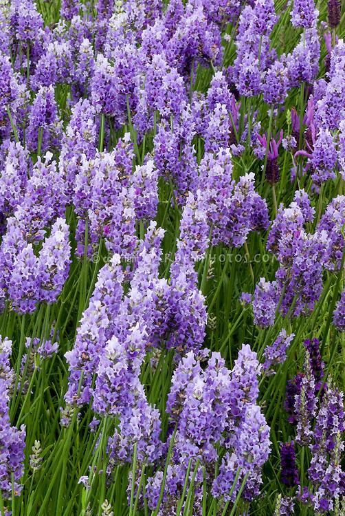 Lavandula 'Provence Everest' English lavender herb in blue purple flowers, fragrance garden for perfume