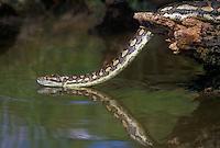 458034005 a captive carpet python moreilia spilotes variegata crawls along a small pond - reptile is a captive animal