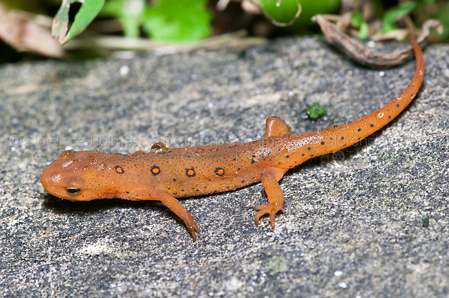 The terrestrial juvenile stage of a Red-spotted Newt (Notophthalmus viridescens) salamander on a rock near a wet forested area, West Harrison, Westchester County, New York