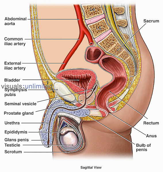 Medical illustration of the anatomy of the male urogenital (genitourinary) system in a sagittal (side cut-away) view. This illustration includes the arteries, bladder, symphysis pubis, seminal vesicle, prostate gland, urethra, epididymis, glans penis, testicle, scrotum, sacrum, rectum, anus, and bulb of the penis.