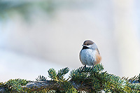 Boreal chickadee, spruce tree, arctic, Alaska