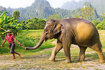 Elephant Hills Luxury Tented Camp in the rainforest in Southern Thailand. The Elephant Experience which offers an opportunity to interact, feed and wash the endangered Asian Elephant.  A mahout leading his elephant.