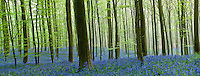 Hallerbos forest in bloom panorama (5 digital files stitched), Bluebells Hyacinthoides non- scripta in the foreground, Belgium