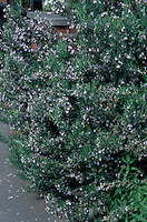 Rosmarinus officinalis (Rosemary) herb in flower