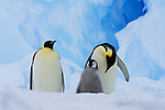 Emperor penguin adults and chick, Antarctica