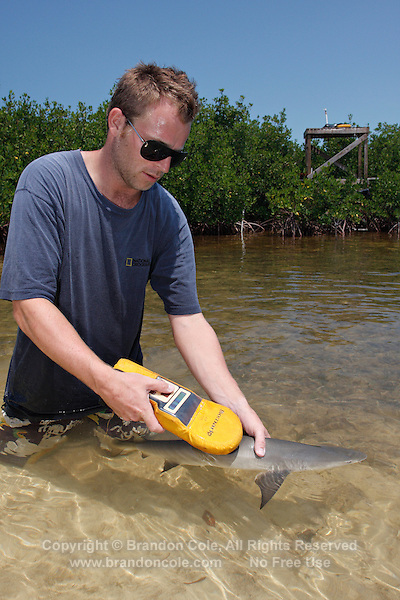 qa70878-D. marine biologist Tristan Guttridge (model released) from Bimini Biological Field Station uses PIT tag reader to scan baby Lemon Shark (Negaprion brevirostris) captured in mangroves. Bahamas, Atlantic Ocean..Photo Copyright © Brandon Cole. All rights reserved worldwide.  www.brandoncole.com..This photo is NOT free. It is NOT in the public domain. This photo is a Copyrighted Work, registered with the US Copyright Office. .Rights to reproduction of photograph granted only upon payment in full of agreed upon licensing fee. Any use of this photo prior to such payment is an infringement of copyright and punishable by fines up to  $150,000 USD...Brandon Cole.MARINE PHOTOGRAPHY.http://www.brandoncole.com.email: brandoncole@msn.com.4917 N. Boeing Rd..Spokane Valley, WA  99206  USA.tel: 509-535-3489