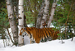 Tiger in snow. (captive)