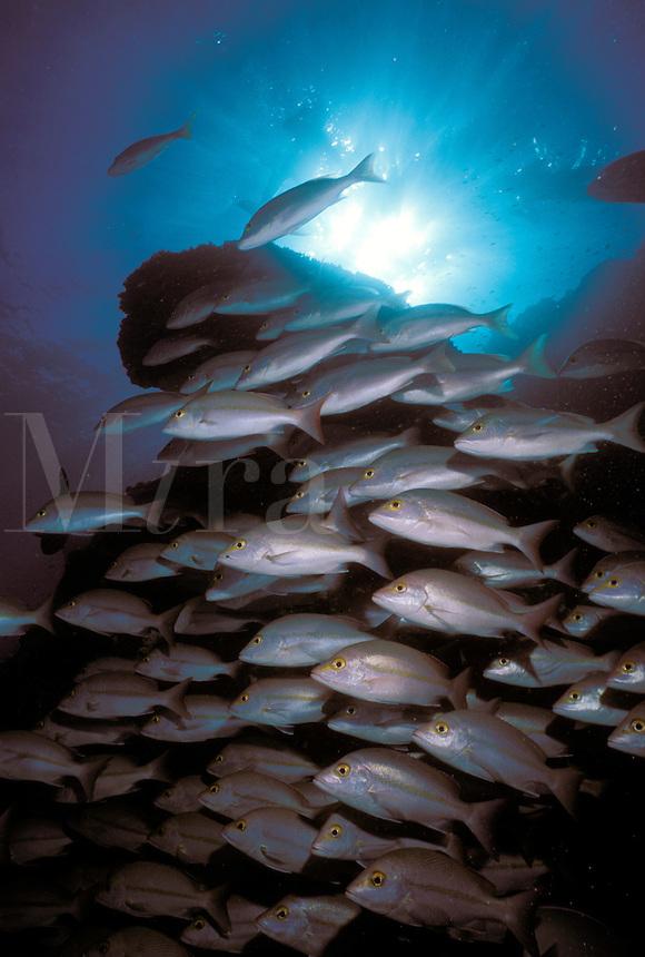 Australia, Queensland, Great Barrier Reef, schooling Brownstripe Seaperch (Lutjanus vitta).