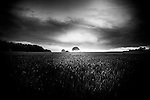 Lone tree in middle of field, wheat field in foreground