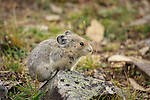 A little critter playing in the rocks near the top of Highwood Pass..&copy;2009, Sean Phillips.http://www.Sean-Phillips.com