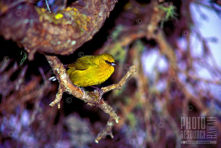 Common amakihi (hemignathus v. virens) male on ohia on Big island