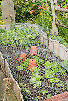 Keeping chickens, pests, pets, animals and wildlife out of the vegetable garden crops with chicken wire netting, protecting plants