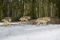 Wild GRAY WOLVES (Canis lupus) walking trail through their territory.  Greater Yellowstone Ecological Area.  Fall.