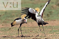 A male Crowned Crane during courtship dance. ,Balearica regulorum, Masai Mara Game Reserve, Kenya