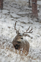 Mule deer buck in Colorado