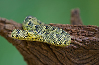 489550002 a captive usambara mountains eyelash bush viper atheris ceratophora sits coiled on a tree stump species is newly recorded and native to the usambara mountains of tanzania